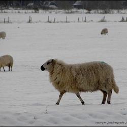 schapie,s in de sneeuw.