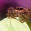 Springspinnetje ♀