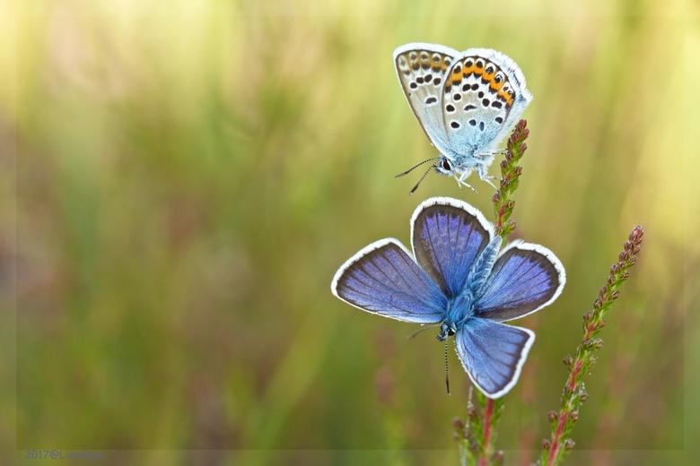 Open up! - Heideblauwtjes in de vroege ochtend, de een net iets eerder opgewarmd dan de ander en klaar voor vertrek...