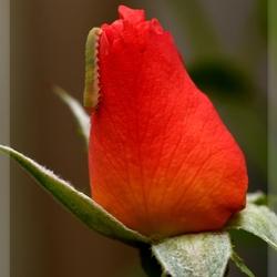 Rupsje op roos