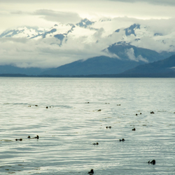 Otter groep in Alaska