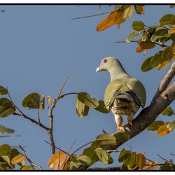 Afrikaanse papegaaiduif in Gambia.