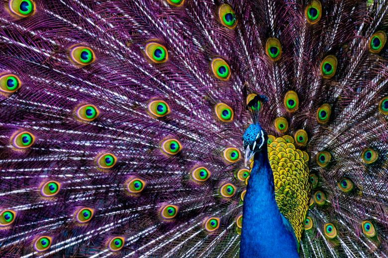 Mr. Peacock -
