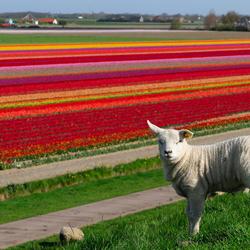 Texel , eiland van wol en bloembollen