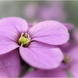 het hart van de bloem...