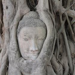 Ingegroeid Boeddha beeld