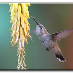 Kolibrie Peru