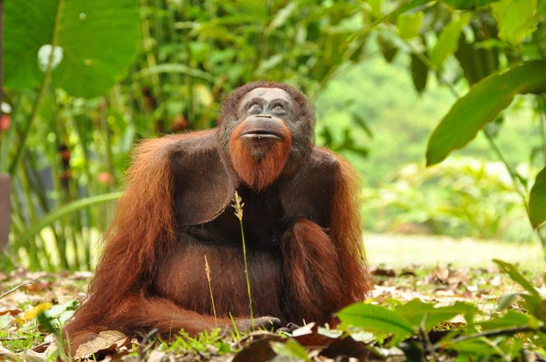 Habitat van de orang-oetan bedreigd - Het regenwoud in Borneo.<br /> Dit is naast Sumatra de plek waar de orang-oetan nog in het wild leeft.<br /> V