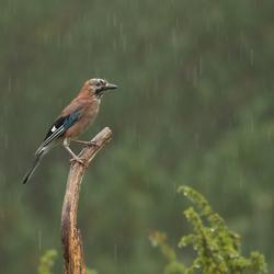 Het regent, het regent...