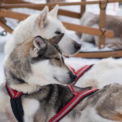 Husky's_Finland_1