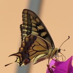 Vlinder bij appartement in Kreta