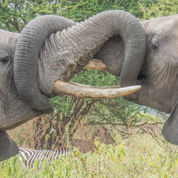 Vrijende olifanten in de Serengeti