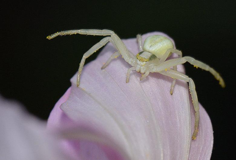 """Gewone Kameleonspin. - De gewone kameleonspin behoort tot de familie van de krabspinnen. Dat zijn """"afwachtende jagers"""" die geen web weven, m"""