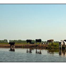 Koeien te water