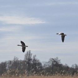 Overvliegende ganzen boven natuurgebied