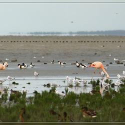 Flamingo's op het Wad (2)