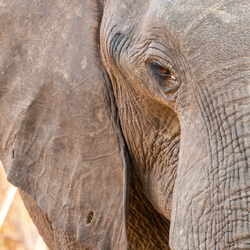 Close-Up Olifant