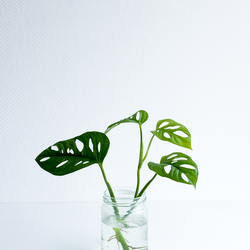 Monstera plantje