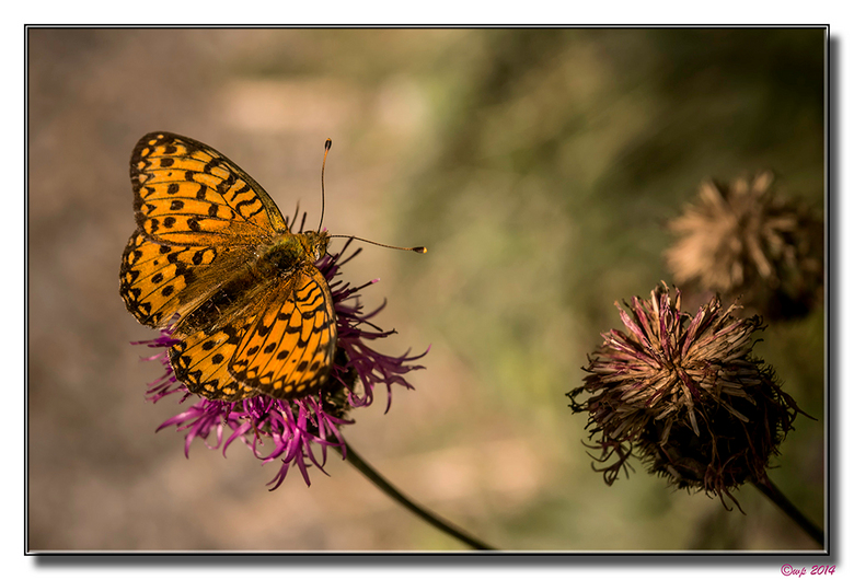 Vlinder - Achtergrond geblurd en een beetje van kleur ontdaan.
