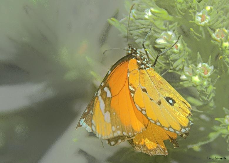 vlinder op la palma. - Denk kleine monarch.