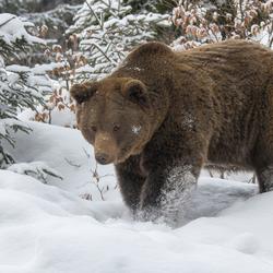 Bruine beer in sneeuwlandschap