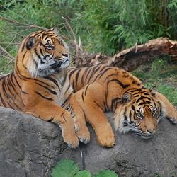 twee tijgers