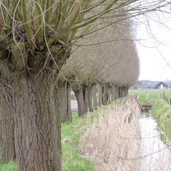 Bomen langs de sloot.