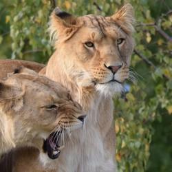 Gebroeders de leeuw