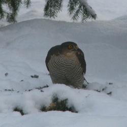 Sperwer in de Sneeuw