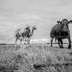 een boze koe