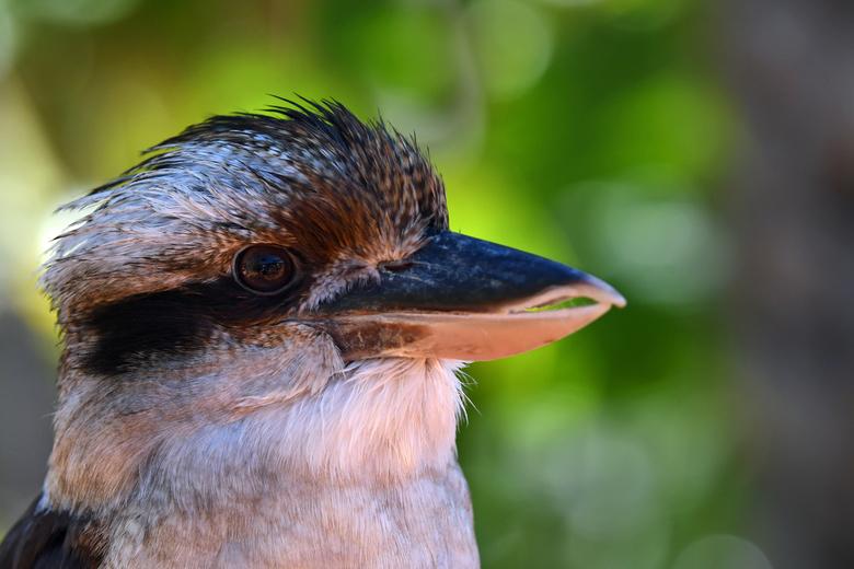 vrolijk - De kookaburra wordt ook wel lachende Hans genoemd. <br /> Een Australische ijsvogelsoort, niet zo kleurrijk. &quot;Onze&quot; ijsvogel is d