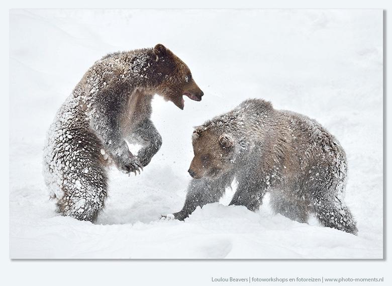 At play - Twee beren die flink met elkaar stoeien. De foto is gemaakt tijdens een van de trips begin verleden jaar. Inmiddels ligt in Beieren al wel s