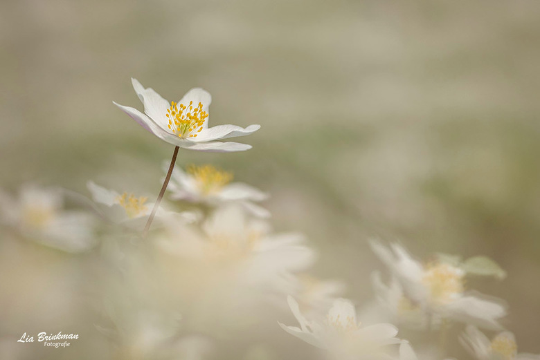 witte wolk van anemoontjes