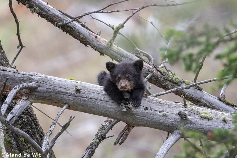 Relax man! - Black Bear cub, drie maanden oud, op ontdekkingsreis.......