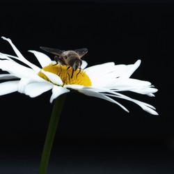 Zweefvlieg op een witte margriet