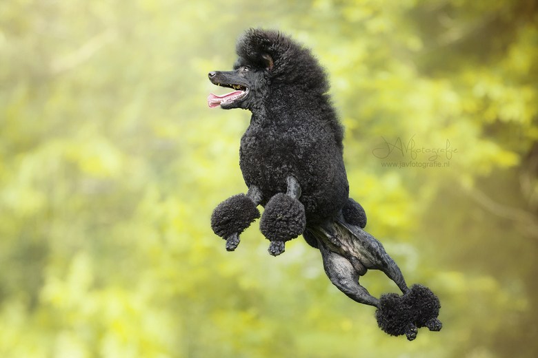 Flying poodle