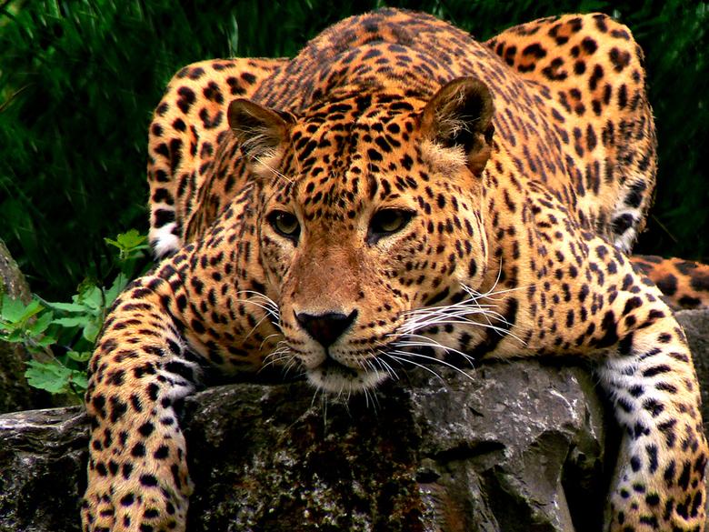 Bewerking: Luipaard restyled - Zie hier het resultaat.<br /> Hek op de achtergrond verwijderd om het wat natuurlijker te laten lijken. De kleurzweem