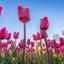 Zonnige tulpen