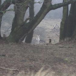 Hert tussen de bomen