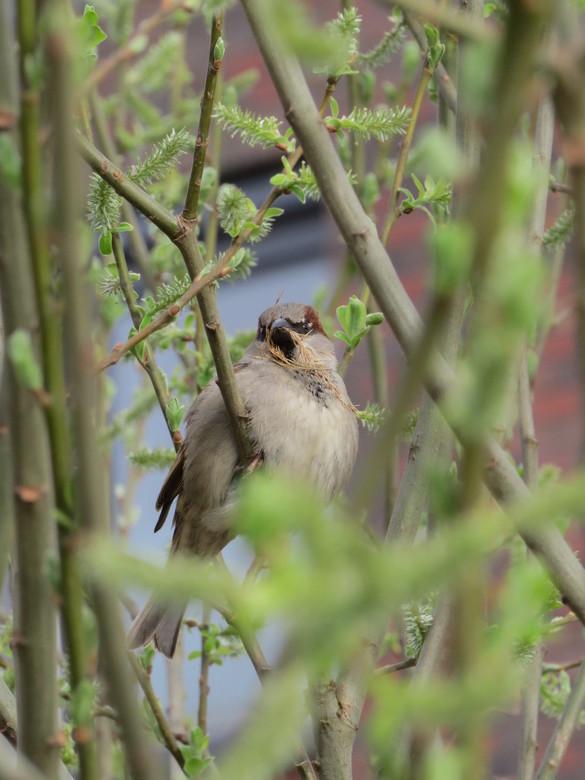 Straatschoffie... - Huismus (Passer domesticus)<br /> <br /> Het blijven me favoriete vogeltjes als het gaat om karakter. Ze zijn overal, en vaak ra