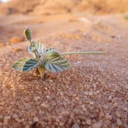 Wadi Rum woestijnplantje 2