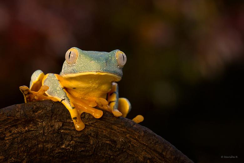 Splendid - Cruziohyla calcarifer, Splendid Treefrog