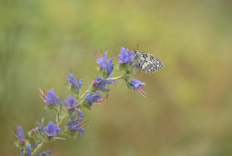 Dambordje - Langzaam aan komt er een einde aan het vlinderseizoen. Gelukkig heb ik nog wat plaatjes op de plank liggen. Zal proberen er wat afwisselin