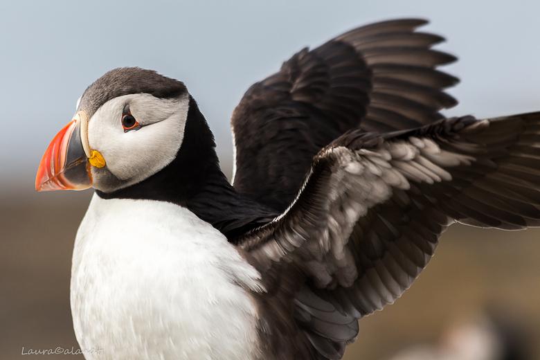 puffin - in schotland dichtbij deze bijzonder beestjes kunnen komen
