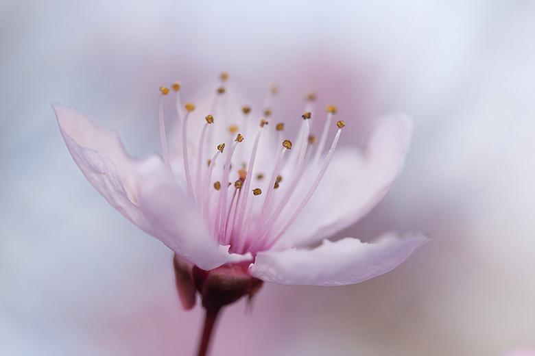 pretty in pink! - Vorige week deze prachtige bloei van mijn boom achterthuis op de foto gezet.<br /> <br /> Iedereen een fijn weekend gewenst en bed