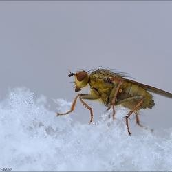 strontvlieg, (Scatophaga stercoraria)in de sneeuw.