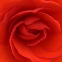 rode begonia