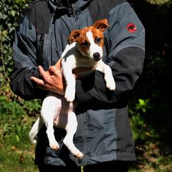 vrij jonge Jack Russell Terrier