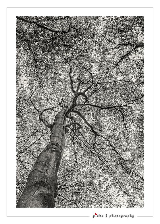 "The old tree... - Vorige week kwam ik in het bos van Oranjewoud deze imposante boom tegen.<br /> <br /> Groet <a href=""https://piebevandenberg.nl"">"