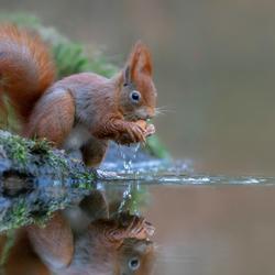 Reflectie eekhoorn.